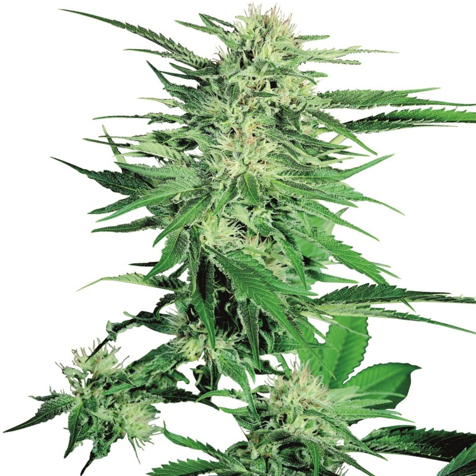 Конопля и сидбанки простуда марихуана