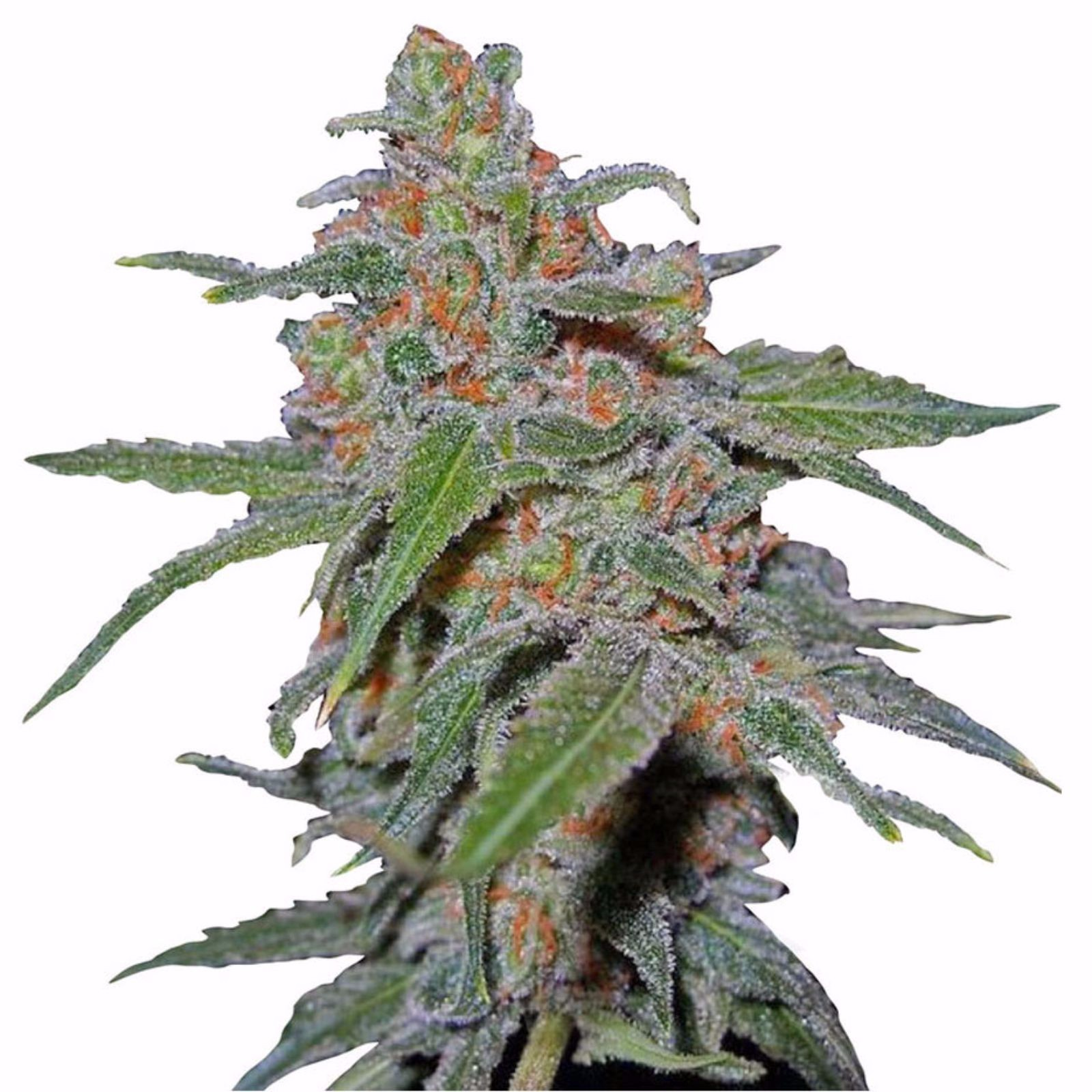 The advantages And Disadvantages Of Best Purple Urkle Seeds